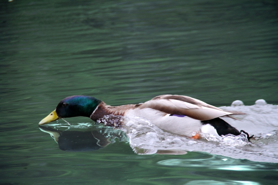 central park duck swim (8)